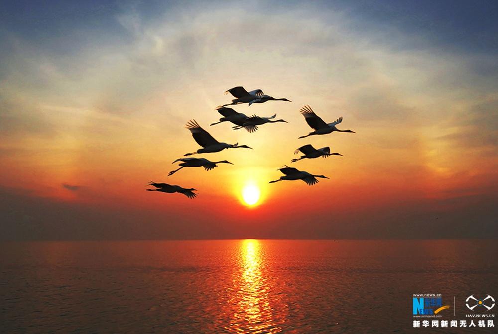 夕阳下,一群丹顶鹤飞过水面
