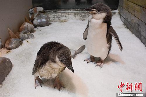 东北首例人工繁育帽带企鹅在大连降生